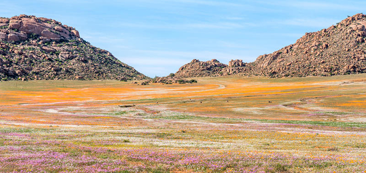 The wild flowers of Namaqualand