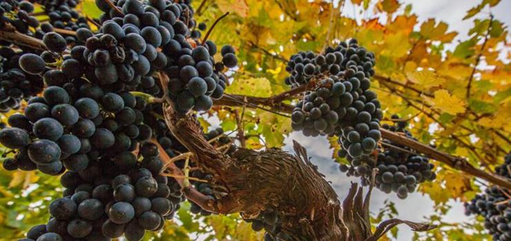 Vineyards, Cape Winelands