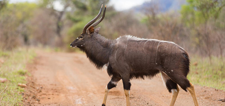 Nyala are one of the more beautiful antelope that are common in the area