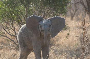 An elephant calf, Thornybush Game Reserve