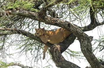 Lioness, Serengeti, Tanzania