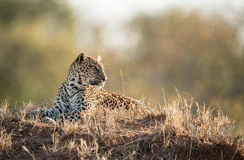 Leopard are regularly seen at Singita