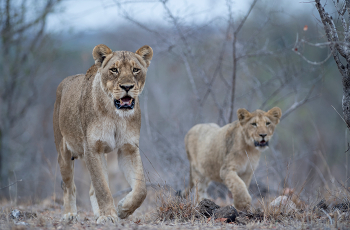 A healthy lion population exists in the Sabie Sands Game Reserve, South Africa