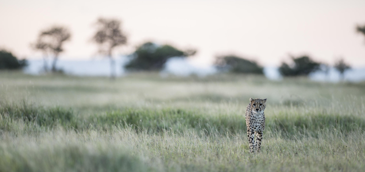 Cheetah, Singita Sabora in the Serengeti