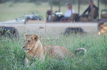 Lion sighting, Singita Sabora