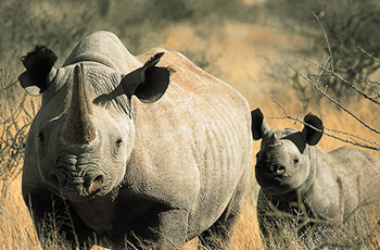 Black rhino are among the rare and exciting wildlife at Tswalu