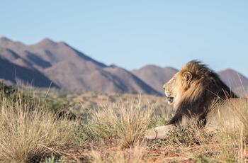 Lion are among the exciting predators that occur in the Kalahari
