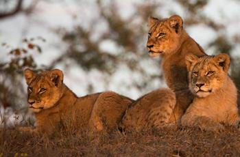 Lion cubs on safari at Ulusaba