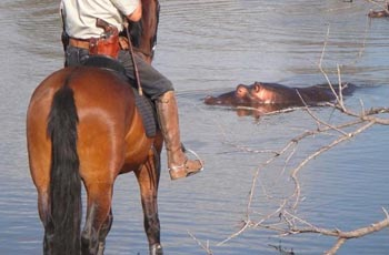 Hippo viewed from horseback, Near Kruger Park, South Africa