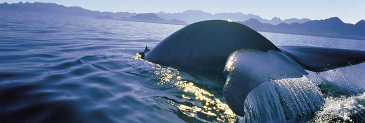 Southern Right Whales visit Gaansbaai around July - October