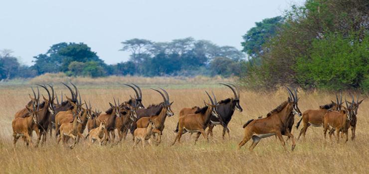 Sable antelope near Busanga Bushcamp, Kafue, Zambia