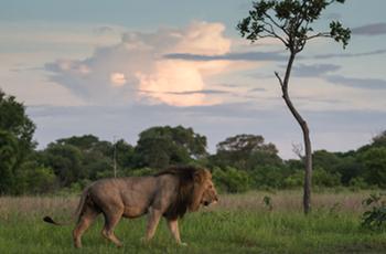 Male lion near Musekese Camp, Kafue, Zambia
