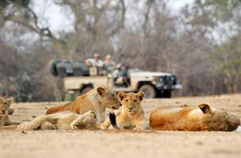 Lions seen on game drive, Chiawa Camp, Lower Zambezi