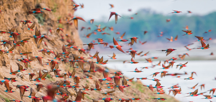 Carmine bee eaters erupt from their nest holes, South Luangwa, Zambia