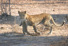 Leopard seen on game drive, Chobe Safari Lodge