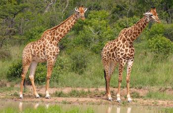 Giraffe, Kruger National Park