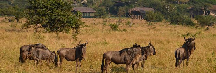 Wildebeest in fromt of Grumeti Migration Camp
