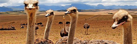Ostrich Farm near Hunters Country House, Garden Route