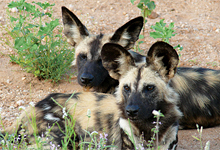 African wild dogs, Kings Camp adjacent to Kruger National Park