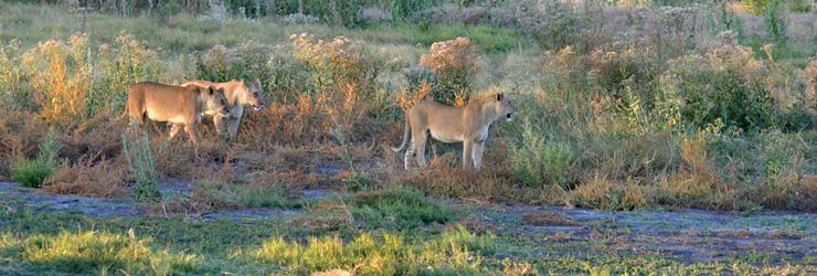 Lionesses Kruger National Park