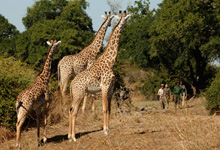 At Norman Carr Safaris in the Luangwa Vallley, Zambia guests walk from one permanent camp to another