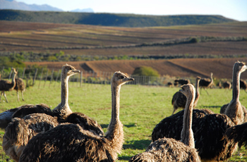 Ostrich farming in the Oudtshoorn area is very popular