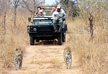 Leopards, Savanna Game Lodge next to Kruger National Park