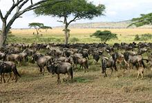 On safari at Serenegeti Serena