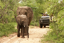 Game drive, Shumbalala Game Lodge near Kruger National Park