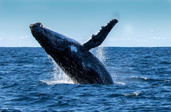 Whales off the Cape coast can be seen from July to October