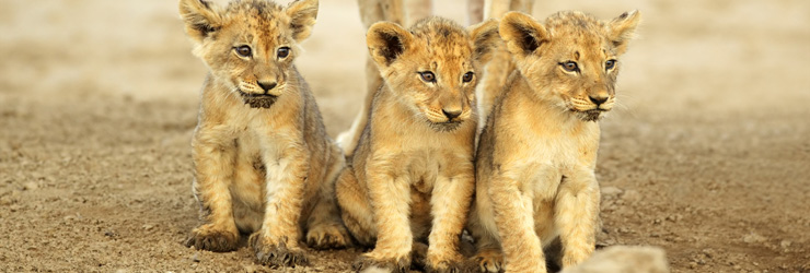 Lion cubs, Kruger Park