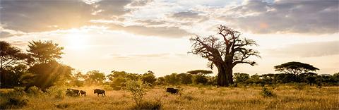 Magnificent baoba near Singita Pamushana Lodge