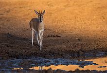 Tiny suni antelope near Singita Pamushana Lodge