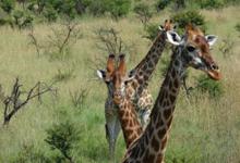 Giraffes on safari